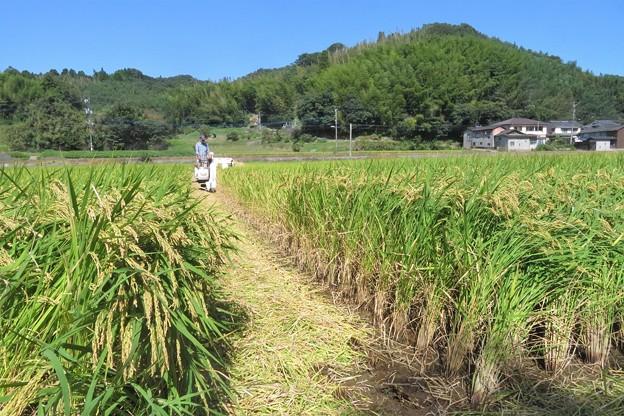 稲刈り_0411