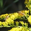 蜜蜂_0512