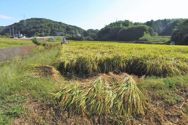 稲刈り_0530