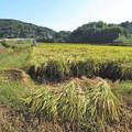 Photos: 稲刈り_0530