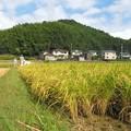 稲刈り_0616