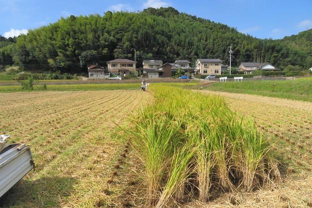 稲刈り_0626