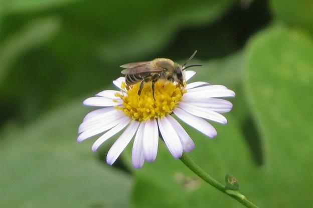 ヨメナ&花蜂_0740