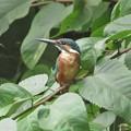 カワセミ♂幼鳥_0794