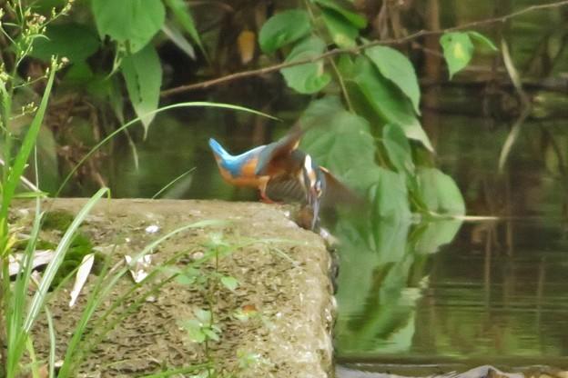 カワセミ♂幼鳥_0832