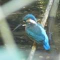 カワセミ幼鳥♂_0914