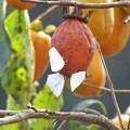 柿にウラギンシジミ_0984