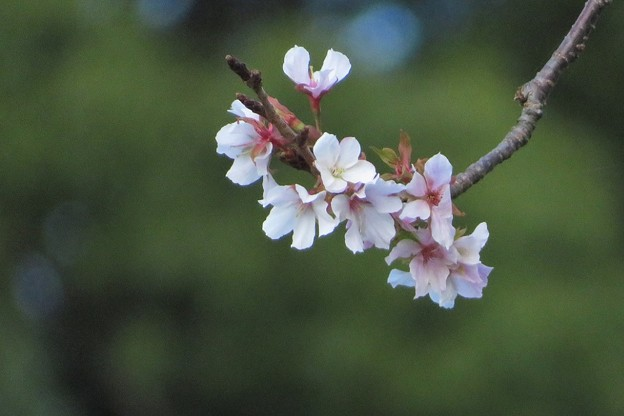 山桜狂い咲き_1088