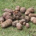サトイモ収穫_1107