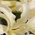 Photos: 花弁の輝き