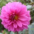 Photos: 咲きたて