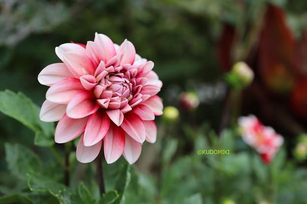 Photos: 咲く途中