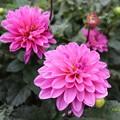 Photos: 次々開花