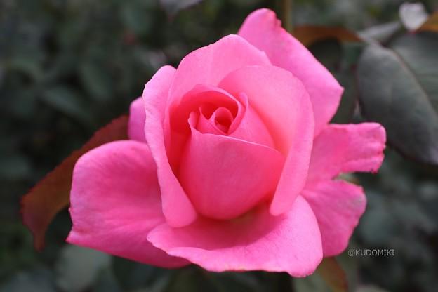 薔薇らしい色