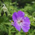 Photos: 210614_平塚・花菜ガーデン_ゲラニウム「ロザンネ」_H210614G0089_MZD12-100ZP_FH_C-SG_FS2_X10As