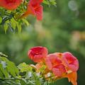 210614_平塚・花菜ガーデン_ノウゼンカズラ_J210614AH1638_MZD300P_FH_C-SG_FS1_X10As