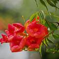 Photos: 210614_平塚・花菜ガーデン_ノウゼンカズラ_J210614AH1647_MZD300P_FH_C-SG_FS1_X10As