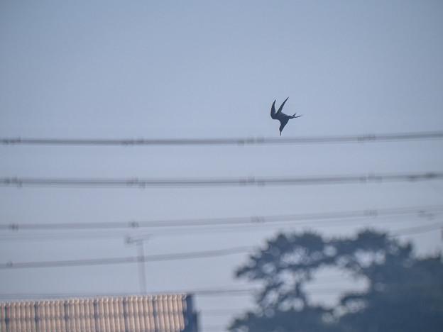 Photos: 210628_小田原・酒匂川_飛翔(採餌・往)<コアジサシ>_J210628AH5006_MZD300P_MC14_PCL18_X10As