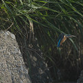 210628_小田原・酒匂川_飛翔(飛び出し)<カワセミ>_J210628AH5232_MZD300P_MC14_PCH60_X10As