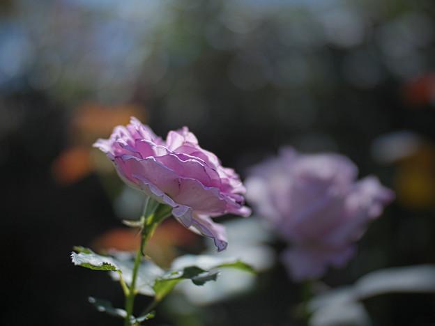 210927_平塚・花菜ガーデン_バラ_G210927YC2943_MZD25F1.2P_X10As