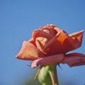 BORG で撮った 花-10