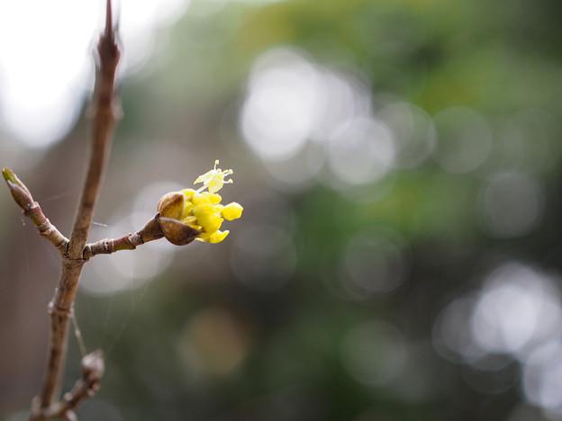 サンシュユ咲き始め