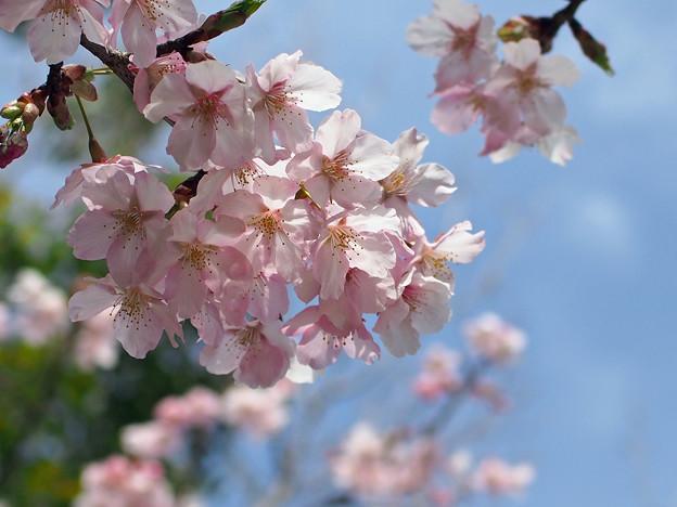 静岡でもソメイヨシノの開花が発表されました