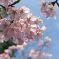 Photos: 静岡でもソメイヨシノの開花が発表されました