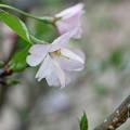 庭の花a 思川桜が咲きました
