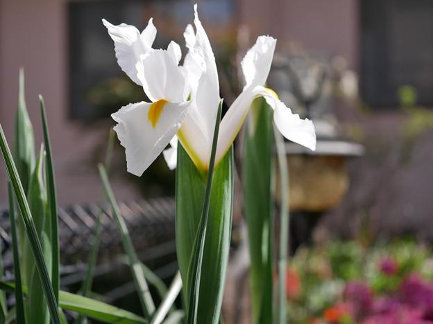 庭の花c アイリス??