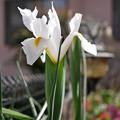 Photos: 庭の花c アイリス??