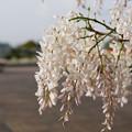 白も咲いてました