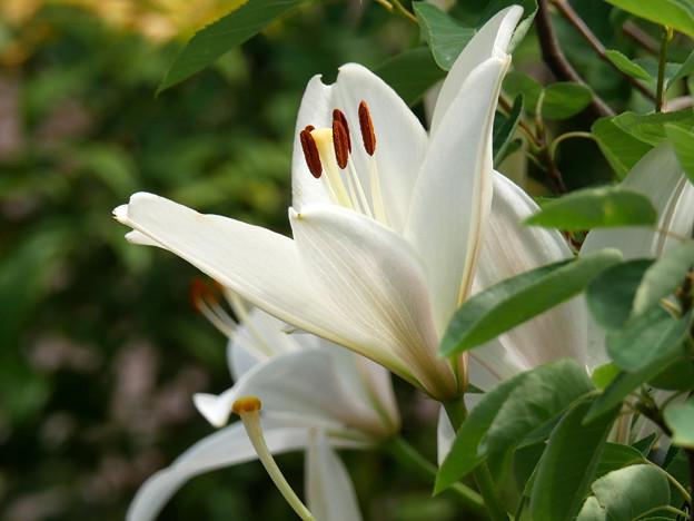 庭に咲く花a ユリ