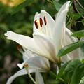 Photos: 庭に咲く花a ユリ