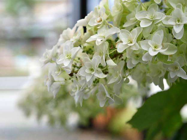 庭に咲く花b カシワバアジサイ