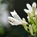 Photos: 庭に咲く花c アガパンサス(白)