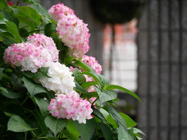 お隣さん宅の駐車場で咲く花 アジサイ