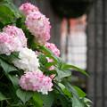 Photos: お隣さん宅の駐車場で咲く花 アジサイ