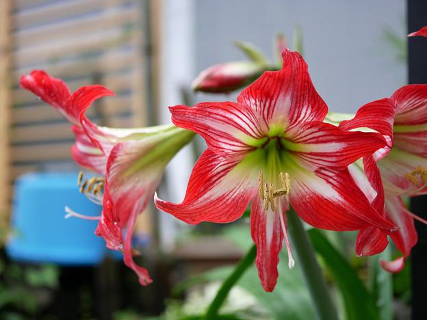 Photos: 庭先で咲く花 アマリリス(かな?)
