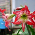 庭先で咲く花 アマリリス(かな?)