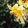 Photos: 庭先で咲く花 ユリ(黄)