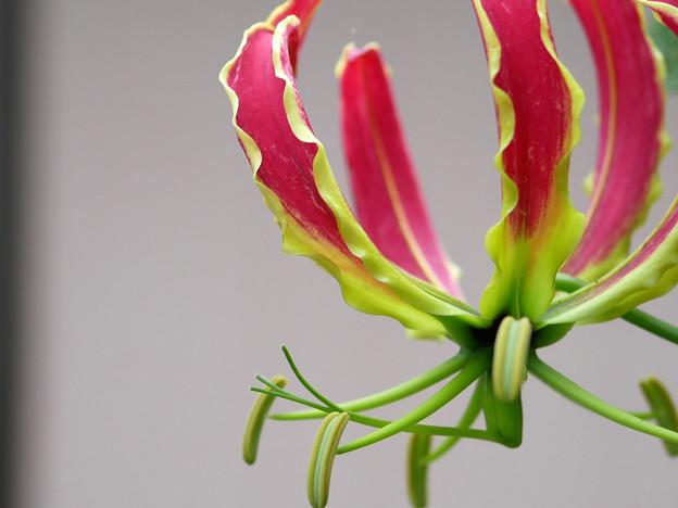 庭先で咲く花 グロリオサ