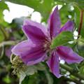 Photos: 庭先で咲く花 クレマチス