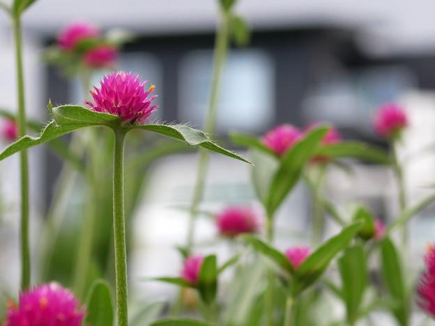 庭先で咲く花 センニチコウ