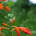 近くの公園で撮った花  モントブレチアと虫さん
