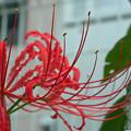 庭先に咲く花 ヒガンバナ