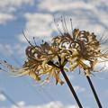 庭に咲いていた花 / ヒガンバナ(白)