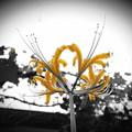 庭に咲いていた花 / ヒガンバナ(黄)