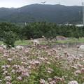 フジバカマ畑