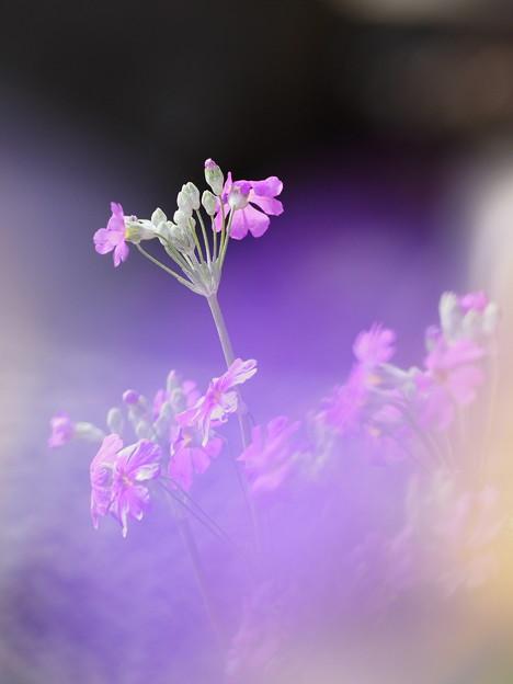 Photos: 春色キラリ